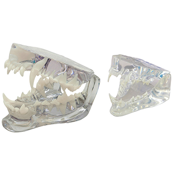 Feline & Canine Jaw Model Set